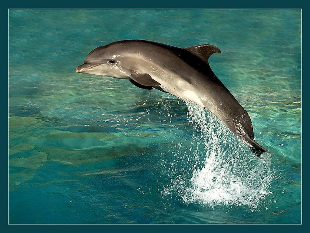 Дельфіни заставки на робочий стіл